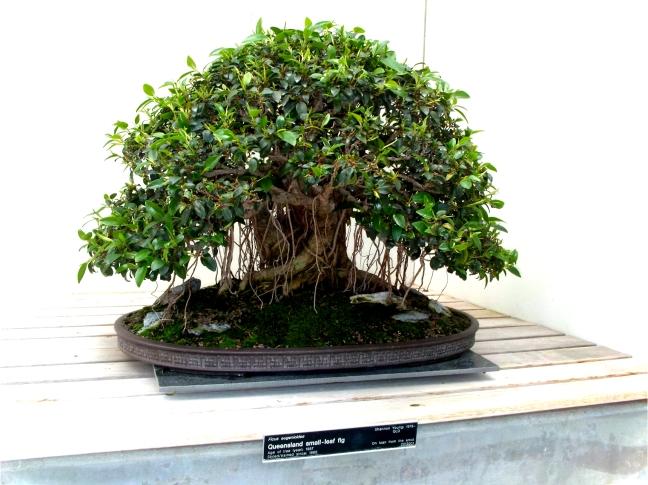 Queensland Small -Leaf Fig