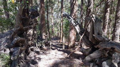 Kincumba Mountain - trees
