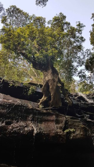 Somersby Falls - lower falls suspended tree