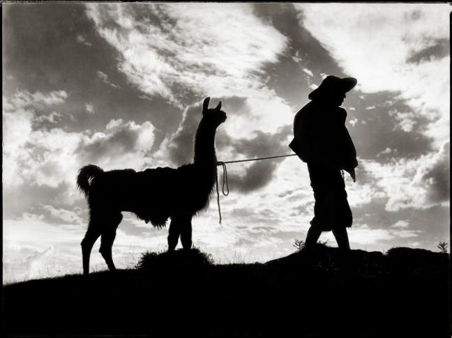 In shadow, a man is hearding his llama